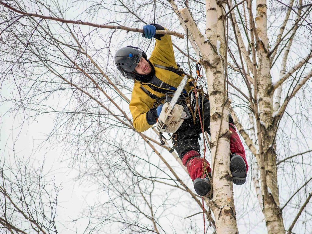 Удаление сухих частей дерева арбористом.