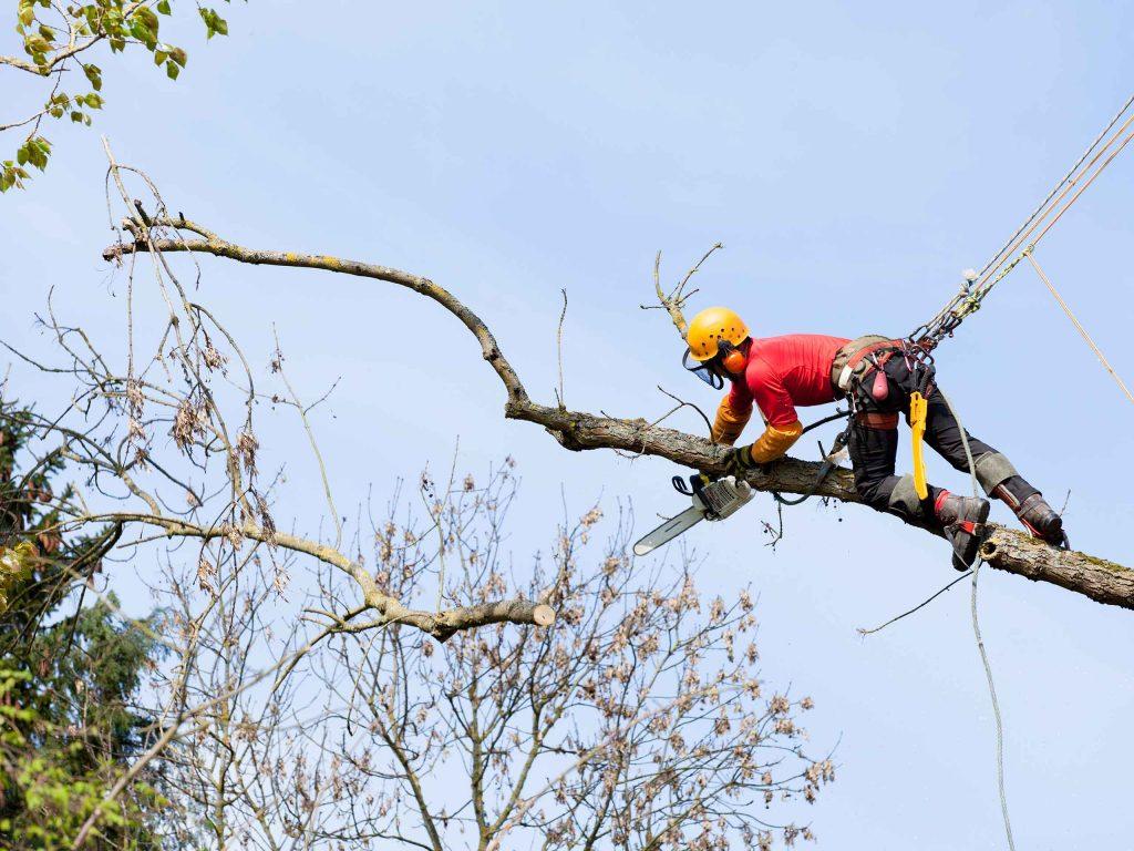 Удаление сухих ветвей с дерева.