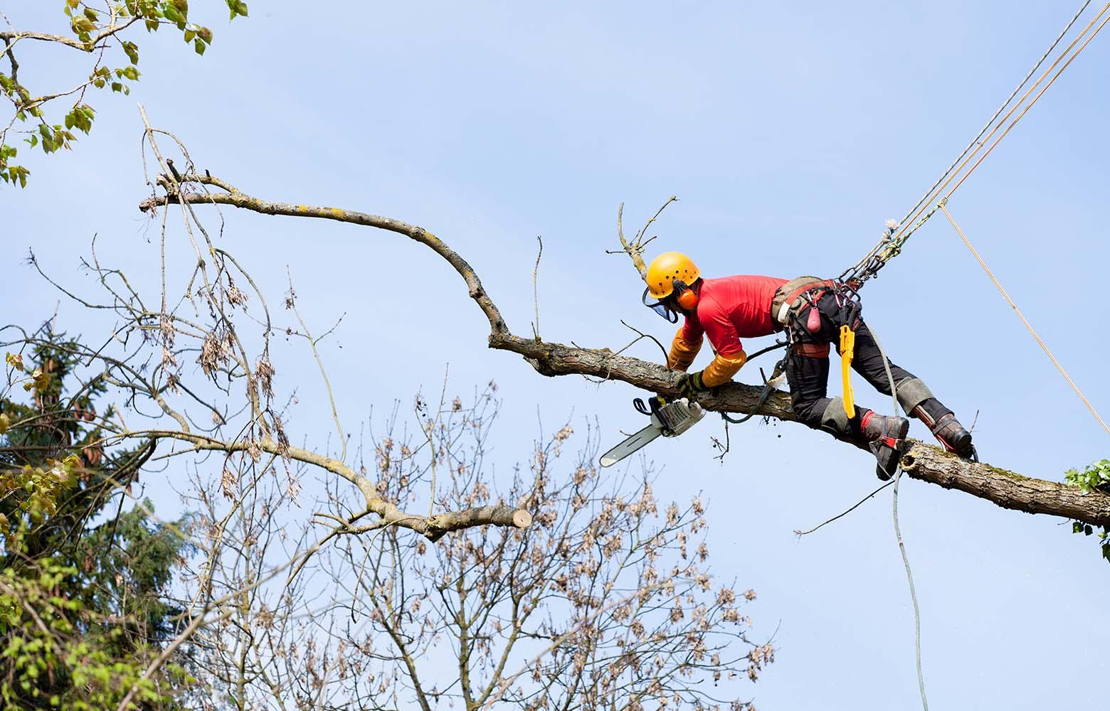 Обрезка высоких аварийных деревьев в Киеве.