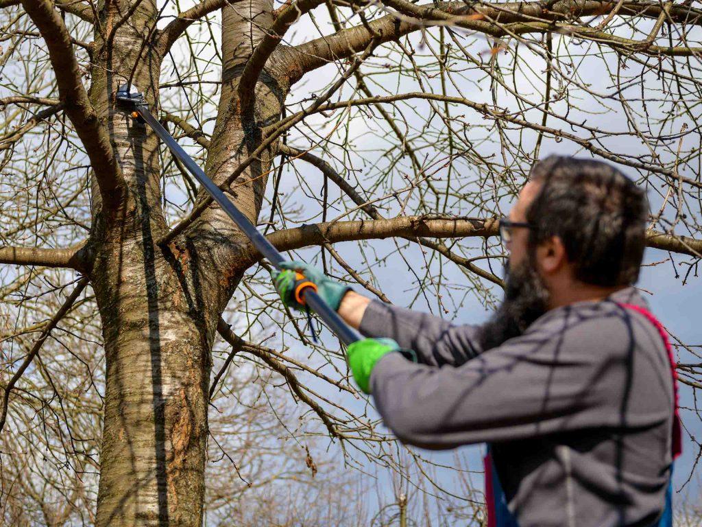 Мастер омолаживает крону высокого плодового дерева.