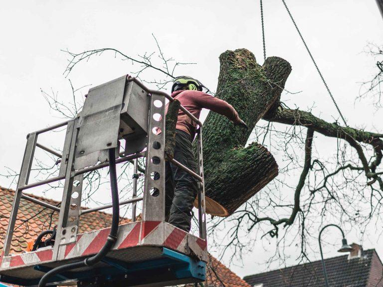 Снос дерева со спилом и аккуратным спуском частей.
