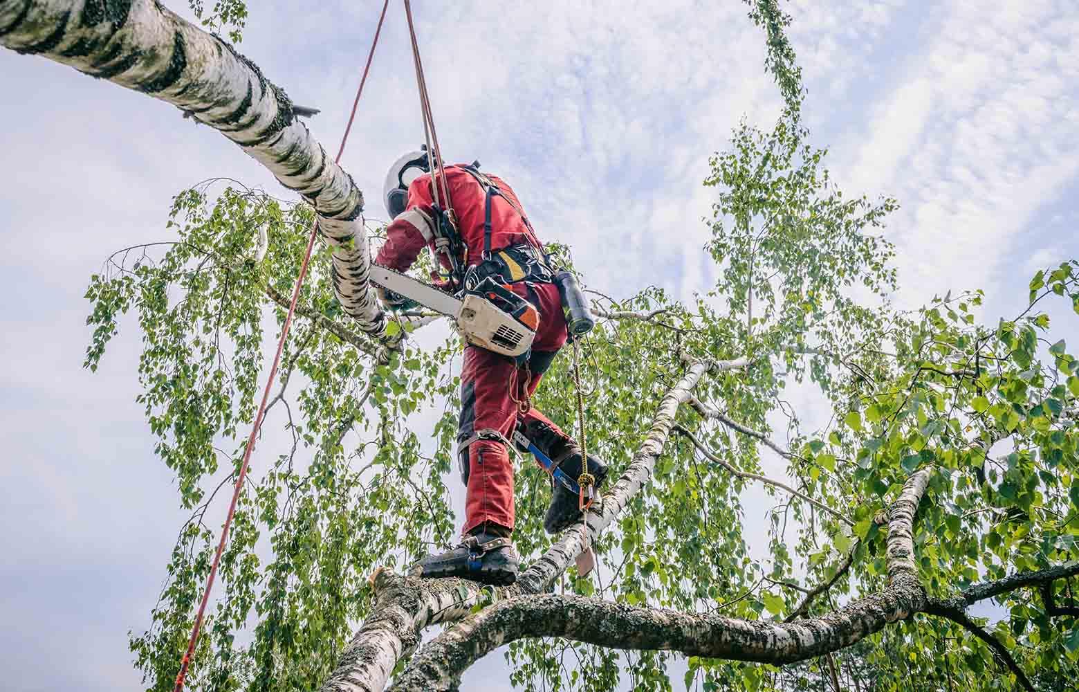 Спил дерева на дачном участке в Киеве.