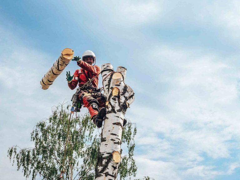 Уборка березы с использованием альпинистского оборудования.