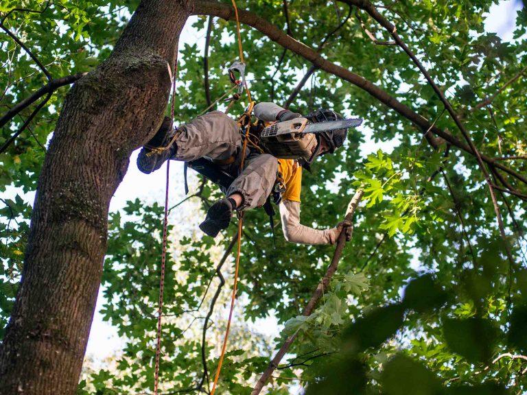 Омолаживаем клен путем удаления поломанных частей дерева.