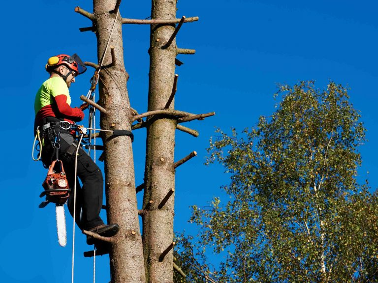 Услуги арбористики в обрезке веток хвойных деревьев.
