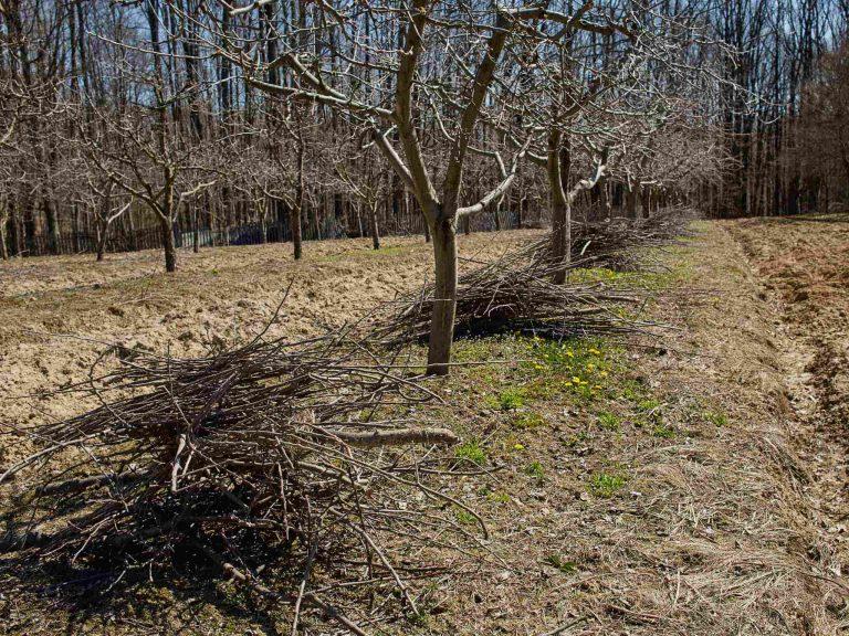 Садовник регулирует рост кроны и скелетных ветвей.
