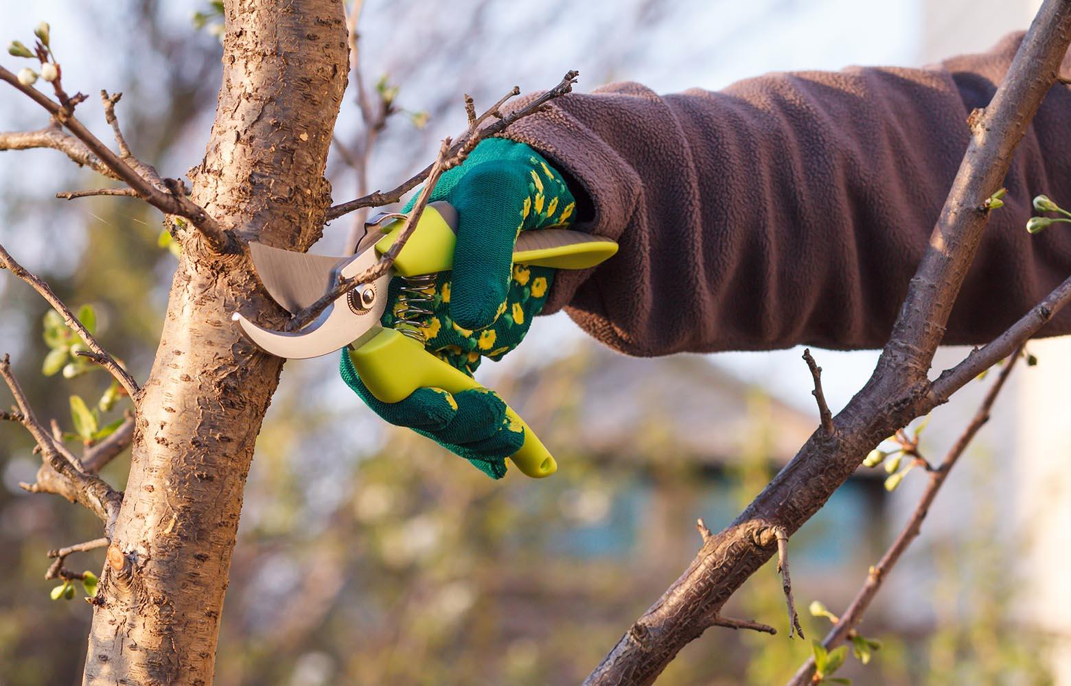 Профессиональная обрезка плодовых деревьев.